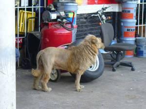león1