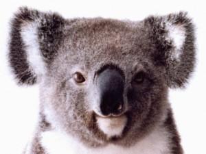 koala-580x435